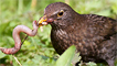 A female blackbird wrestling with an earthworm by Ashley Cohen