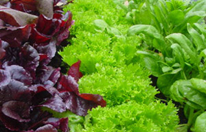 Lettuces growing