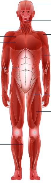 Bbc science nature human body and mind anatomy muscle anatomy more human anatomy diagrams back view of muscles skeleton organs nervous system ccuart Gallery