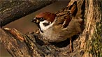 Tree sparrow. Photo: Kenneth Wilson Smith
