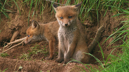 Fox cubs at the back of the house. Image by sandra 45.