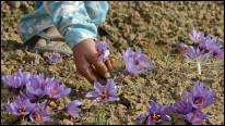 Picking flowers in Kashmir in a region heavily affected by drought. AFP Getty