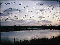 Migrating birds (Image c/o RSPB Images and Chris Gomersall)