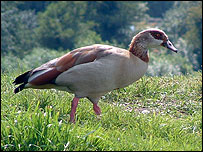 Picture: Egyptian goose