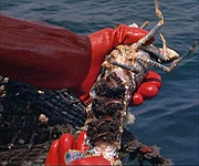 A lobster caught by local fishermen laden with eggs