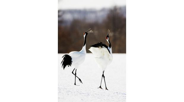 Two Japanese cranes (grus japonensis) in courtship display, side view. Photo: Jeremy Woodhouse