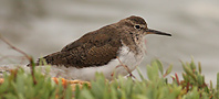 Common Sandpiper, copyright owned by RSPB.