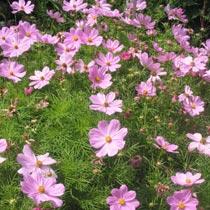 Bbc Gardening Plant Finder Cosmos