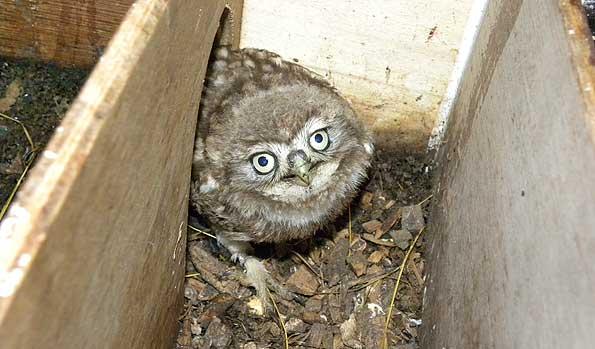 Owl Nesting Box Owl Inside It's Nest Box