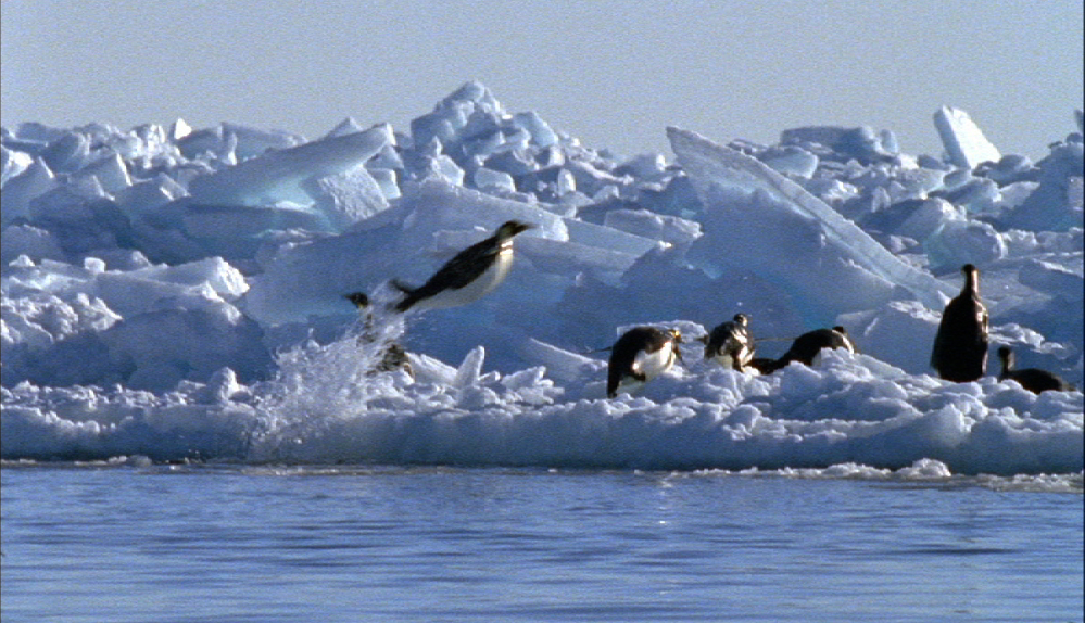 Leaping Emperor penguin (Image: Blue Planet, BBC)