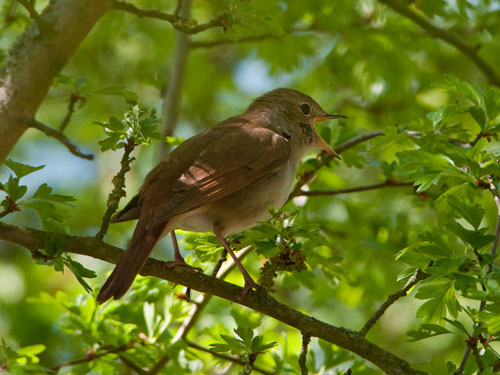 Nightingale singing © Kevin Loader from the BBC Springwatch Flickr group