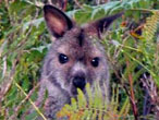 Wallaby, image courtesy of Alastair Taylor