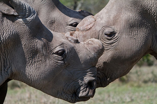 Northern white rhinos in Kenya