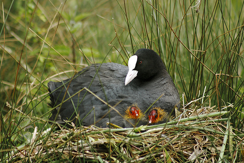 nesting coot with colourful chicks by Dominic Heard