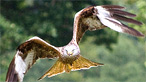 Red kite by C Holdsworth