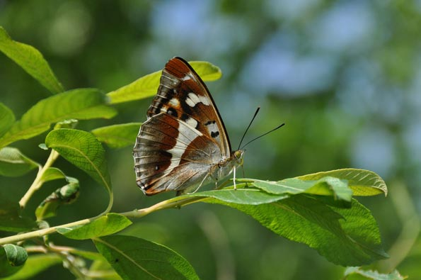 female purple emperor by Tim Melling