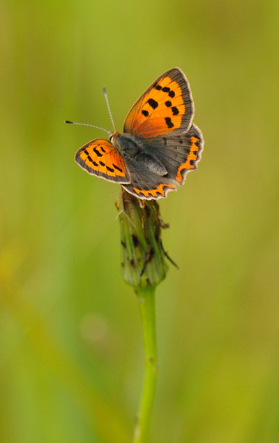 small copper butterfly by Amy Lewis