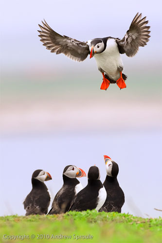 puffins-andrew-sproule.jpg