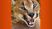 The Caracal has all the big cat attributes, but it's her secret weapon that puts her on Steve Blackshall's Deadly 60 list