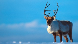 Reindeer from Nature Picture Library