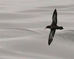 Image of a Sooty Shearwater by Santa Cruz, California photographer Jeff Poklen