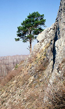 tree growing from a cliff face