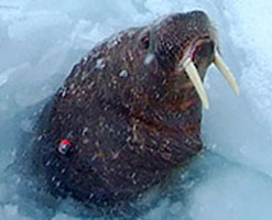 Image of a walrus