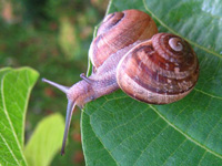 a snail, by Ciar. This file is licensed under the Creative Commons Attribution-Share Alike 3.0 Unported license.