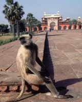 Monkey sitting calmly on steps outside the mausoleum of Akbar at Agra in India
