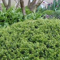 bbc gardening plant finder japanese holly. Black Bedroom Furniture Sets. Home Design Ideas