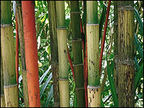 BBC - Lancashire - Nature - Ask the gardener: Bamboo