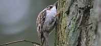 an image of a Treecreeper, copyright owned by Blueskybirds.co.uk.