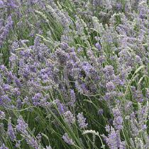 foto de BBC Gardening: Plant Finder Lavender