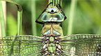 Blue emperor dragonfly by Dr Allan Brandon