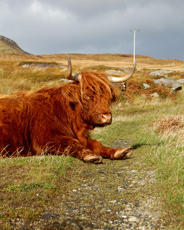 A highland cow lying down
