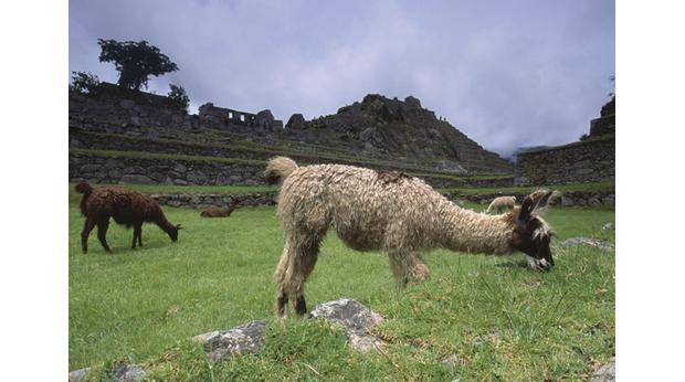 Llamas grazing at Machu Pichu, Peru. Photo: Grant Faint