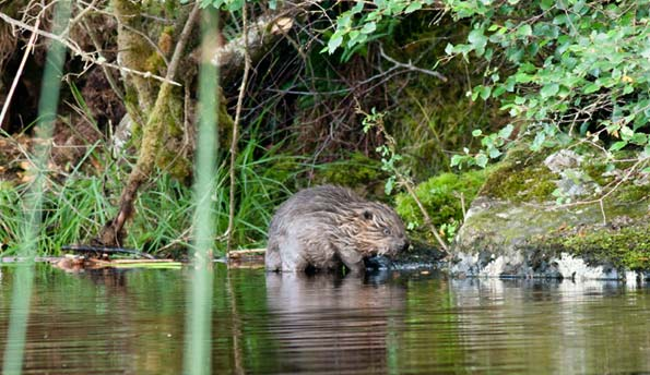 A beaver in Knapdale Forest