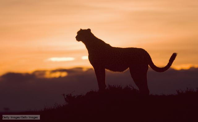 Cheetah (image: (image: Getty images / Gallo images)