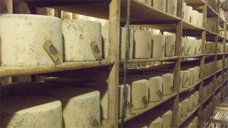 whole cheddars maturing in the storeroom.