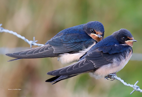 swallows by Gerry Gutteridge