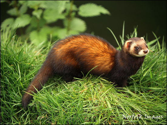 Bbc Nature Uk Have You Spotted A Pine Marten In Wales