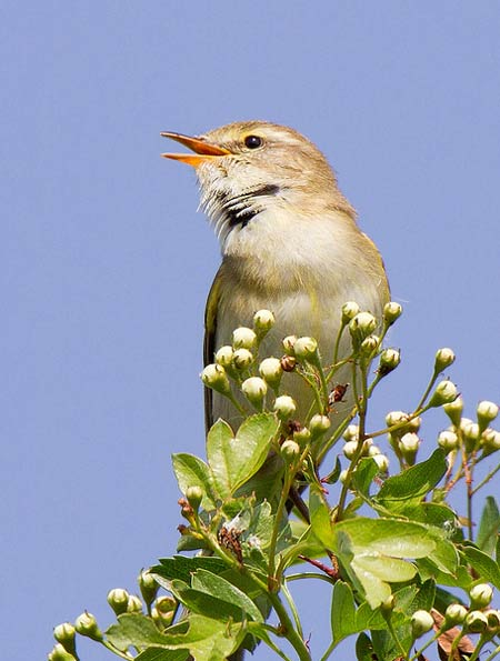 Willow warbler by Andrew Haynes