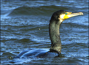 A Cormorant at Dinton Pastures (Kevin Browne)