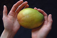 pair of hands holding a mango
