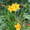 Hemerocallis 'Golden Chimes'
