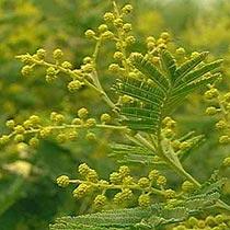 Bbc Gardening Plant Finder Mimosa