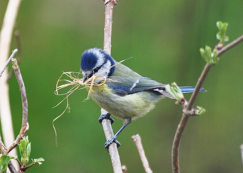 Bluetit with nest material by Diana Mower
