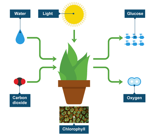 Bbc intermediate 2 bitesize biology photosynthesis revision what a plant consumes and produces ccuart Gallery