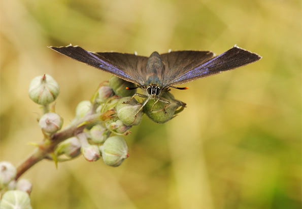 Purple hairstreak by Pete Withers