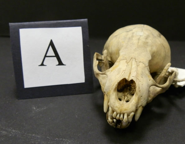 BBC - Nature UK: Unsprung animal skull quiz